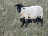FAR LIV SHE  SK  CWN02D3587DSHEEP STANDING IN PASTURE, EAR-TAG SHOWINGSPRINGSIDE                         0928© CLARENCE W. NORRIS      ALL RIGHTS RESERVEDANIMALS;EAR_TAGS;FARMING;LIVESTOCK;PASTURES;PLAINS;PRAIRIES;RANCHING;RURAL;SASKATCHEWAN;SCENES;SHEEP;SK_;SPRINGSIDE;WOOLLONE PINE PHOTO              (306) 683-0889