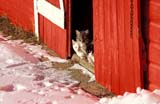 FAR SCE MIS  SK       1309536DFARM CATS AT BARN DOOR IN WINTERNEUHORST                          1126© CLARENCE W. NORRIS      ALL RIGHTS RESERVEDANIMALS;BARNS;CATS;FARMING;NEUHORST;PLAINS;PRAIRIES;RURAL;SASKATCHEWAN;SCENES;SHELTER;SK_;WINTERLONE PINE PHOTO              (306) 683-0889