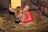 FAR SCE MIS  SK       1903514DCALF WITH RED BANDANACHAPLIN'S BED & BREAKFASTFLORAL                                05..© CLARENCE W. NORRIS        ALL RIGHTS RESERVEDANIMALS;CALVES;CATTLE;FARMING;FLORAL;PETS;PLAINS;PRAIRIES;RURAL;SASKATCHEWAN;SCENES;SK_;TOURISMLONE PINE PHOTO                (306) 683-0889