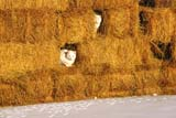 FAR SCE MIS  SK   1309533D               FARM CATS IN HAY BALES IN WINTERNEUHORST                               1126© CLARENCE W. NORRIS           ALL RIGHTS RESERVEDANIMALS;BALES;CATS;FARMING;HAY;NEUHORST;PLAINS;PRAIRIES;RURAL;SASKATCHEWAN;SCENES;SK_;WINTERLONE PINE PHOTO                   (306) 683-0889