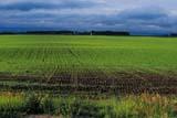 FAR SCE MIS  SK   WS20545DGERMINATING CROP IN SPRINGQUILL LAKE                              05..© WAYNE SHIELS                     ALL RIGHTS RESERVEDCROPS;FARMING;FIELDS;PLAINS;PRAIRIES;QUILL_LAKE;RURAL;SASKATCHEWAN;SCENES;SK_;SPRING LONE PINE PHOTO                  (306) 683-0889