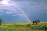 FAR SCE MIS  SK   WS21089DHORSES IN PASTURE, RAINBOW BEHINDSONNINGDALE                      08..© WAYNE SHIELS                 ALL RIGHTS RESERVEDANIMALS;FARMING;HORSES;LIVESTOCK;PASTURES;PLAINS;PRAIRIES;RAINBOWS;RURAL;SASKATCHEWAN;SCENES;SK_;SONNINGDALE;WEATHERLONE PINE PHOTO               (306) 683-0889