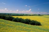 FAR SHE MIS  SK     1803706DCANOLA FIELD IN BLOOM, SHELTERBELT IN FOREGROUNDST. DENIS                             079© CLARENCE W. NORRIS       ALL RIGHTS RESERVEDCANOLA;CONSERVATION;CROPS;FARMING;FIELDS;RURAL;SASKATCHEWAN;SCENES;SHELTERBELTS;SK_;ST_DENIS;SUMMER;WINDBREAKSLONE PINE PHOTO               (306) 683-0889