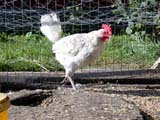 FAR POU CHI  SK  CWN02D3653DCHICKEN IN WIRE CHICKEN COOPSPRINGSIDE                         0928© CLARENCE W. NORRIS      ALL RIGHTS RESERVEDBIRDS;CHICKENS;COOPS;FARMING;PLAINS;POULTRY;PRAIRIES;RURAL;SASKATCHEWAN;SCENES;SK_;SPRINGSIDELONE PINE PHOTO              (306) 683-0889