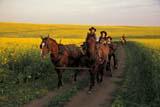 FAR PEO MIS  SK     1609964D  MRPEOPLE RIDING IN WAGON THROUGH CANOLA FIELDST. DENIS                             0728© CLARENCE W. NORRIS       ALL RIGHTS RESERVEDCANOLA;CHILDREN;FARMING;FIELDS;HORSES;MR_;PEOPLE;PLAINS;PRAIRIES;ROADS;RURAL;SASKATCHEWAN;SCENES;SK_;ST_DENIS;WAGONS;WESTERNLONE PINE PHOTO               (306) 683-0889