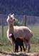 ALPACA WITH NEWBORN CALF, ALBERTA