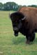 BISON IN SUMMER, PATRICIA