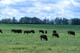 BUFFALO HERDS GRAZING IN PASTURE, BUCK LAKE