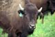 CLOSE-UP OF BISON, BROADACRES