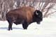 BISON STANDING IN SNOW, SASKATOON