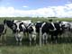 HERD OF HOLSTEIN COWS, WETASKIWIN