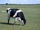HOLSTEIN COW IN PASTURE, WETASKIWIN