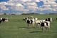 HOLSTEIN CATTLE IN PASTURE, THORSBY
