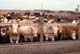 CATTLE IN FEEDLOT, CHARLAIS AND CHARCROSS CATTLE, SASKATOON