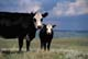 COW AND CALF GRAZING IN PASTURE, CYPRESS HILLS
