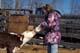 GIRL FEEDING HEREFORD CALF MILK FROM BOTTLE, MEADOW LAKE