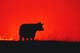 COW AGAINST TWILIGHT ON GRAZING LAND, THE GREAT SAND HILLS