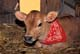 CALF WITH RED BANDANA, FLORAL