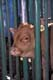COW IN CHUTE, SASKATOON