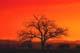 CATTLE UNDER TREE IN PASTURE AT SUNRISE, BEAVER CREEK