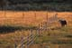 COW AND FENCELINE AT SUNSET, EASTEND