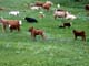 COWS AND CALVES IN SUMMER PASTURE, LEADER