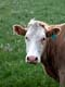 CLOSE-UP OF COW WITH EAR TAG, LEADER