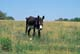 DONKEY IN PASTURE, RIDING MOUNTAIN NATIONAL PARK