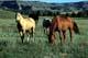 HORSES GRAZING IN RIVER VALLEY, DRUMHELLER
