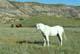WHITE HORSE IN RED DEER RIVER VALLEY, DRUMHELLER