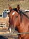 CLOSE UP OF HORSE IN CORRAL, MELVILLE