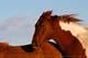 HORSES, SASKATOON