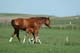 MARE AND COLT IN PASTURE, MANKOTA