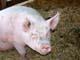 PIG IN STRAW IN BARN, SALMON ARM