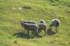 SHEEP IN SUMMER PASTURE, BOYNE LAKE