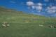 SHEEP GRAZING ON SUMMER HILLSIDE, WOOD MOUNTAIN