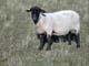 SHEEP STANDING IN PASTURE, SPRINGSIDE
