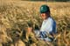 FARMER CHECKING BARLEY CROP, OSLER
