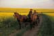PEOPLE RIDING IN WAGON THROUGH CANOLA FIELD, ST. DENIS