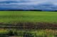 GERMINATING CROP IN SPRING, QUILL LAKE