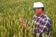 FARMER CHECKING WHEAT CROP, INDIAN HEAD