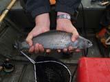 FIS GRA ARC  YT  DSR06A4377DXARCTIC GRAYLINGKATHLEEN RIVER                 ../..© DUANE S. RADFORD         ALL RIGHTS RESERVEDARCTIC_GRAYLING;CORDILLERA;FISH;FISHING;HANDS;KATHLEEN_RIVER;OUTDOORS;SPORTS;SUMMER;YT_;YUKONLONE PINE PHOTO              (306) 683-0889