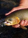 FIS TRO CUT  BC  DSR06A5022DX  VTCUTTHROAT TROUTELK RIVER                           ../..© DUANE S. RADFORD         ALL RIGHTS RESERVEDBC_;BRITISH;BRITISH_COLUMBIA;COLUMBIA;CORDILLERA;CUTTHROAT_TROUT;ELK_RIVER;FISH;FISHING;OUTDOORS;SUMMER;TROUT;VTLLONE PINE PHOTO              (306) 683-0889