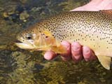 FIS TRO CUT  BC  DSR06A5055DXCUTTHROAT TROUTALEXANDER CREEK              ../..© DUANE S. RADFORD         ALL RIGHTS RESERVEDALEXANDER_CREEK;BC_;BRITISH;BRITISH_COLUMBIA;COLUMBIA;CORDILLERA;CUTTHROAT_TROUT;FISH;FISHING;OUTDOORS;SUMMER;TROUTLONE PINE PHOTO              (306) 683-0889