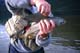 HANDS HOLDING ARCTIC GRAYLING, TINCUP LAKE WILDERNESS LODGE