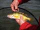 YELLOW PERCH, LESSER SLAVE LAKE