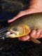 CUTTHROAT TROUT, ELK RIVER