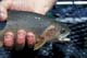 HAND HOLDING CUTTHROAT TROUT, ELK RIVER