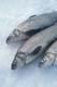 WHITEFISH CATCH ON ICE, GULL LAKE
