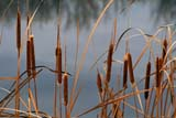 FLO CAT MIS  MB  IAW1304933DCOMMON CATTAILS AND WATER(TYPHA LATIFOLIA)ASSINIBOINE RIVER               10© IAN A. WARD                    ALL RIGHTS RESERVEDASSINIBOINE_RIVER;AUTUMN;CATTAILS;COMMON_CATTAIL;FLOWERS;MANITOBA;MARSHES;MB_;PLAINS;PRAIRIES;RIVERS;SCENES;WATER;WILDFLOWERSLONE PINE PHOTO              (306) 683-0889
